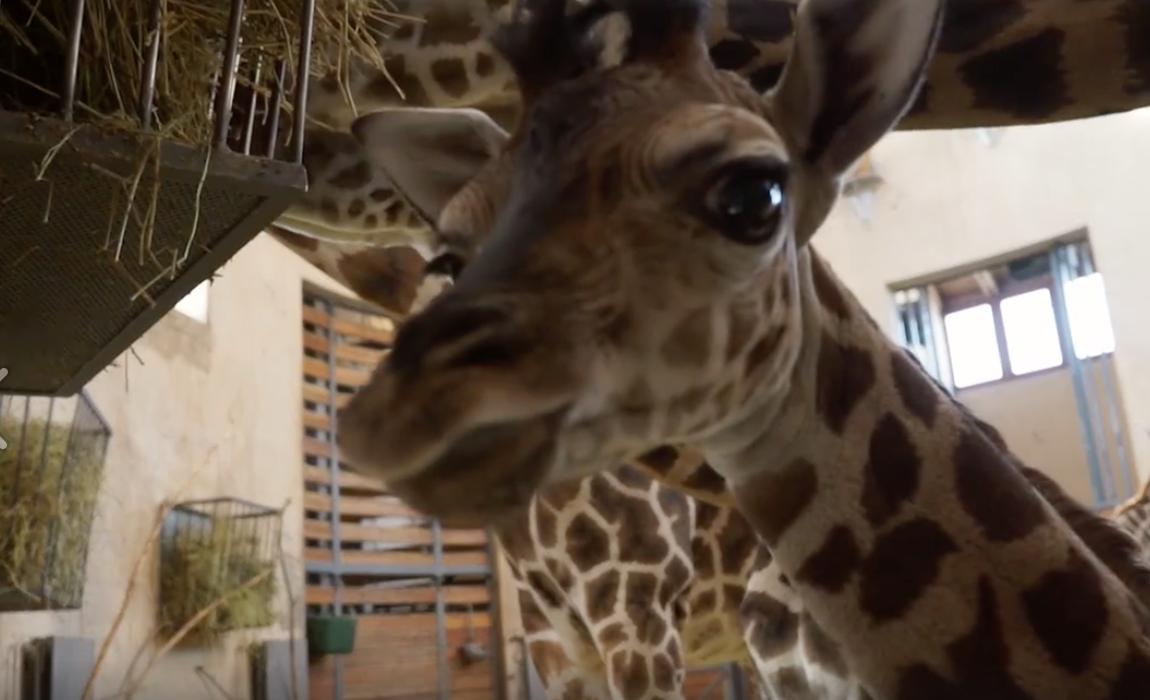 Elképesztő cuki az egyhónapos budapesti zsiráfborjú