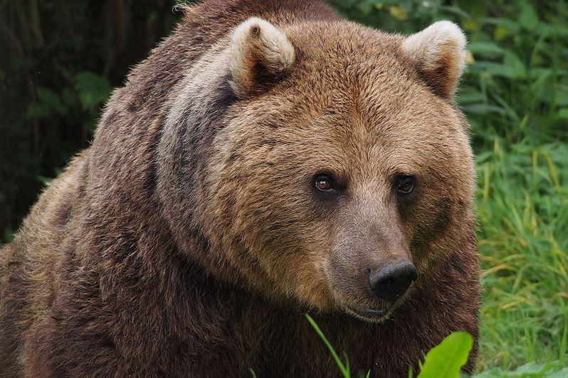 Barna medve (fotó: Wikipedia)
