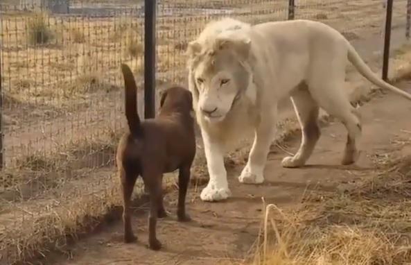 A kutyának kezet csókoló oroszlántól olvad az internet – videó