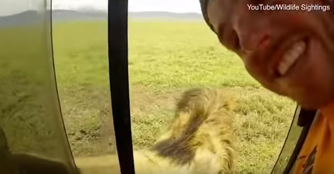 Azt hitte a szafarizó, jó ötlet megsimogatni a vad oroszlánt – videó