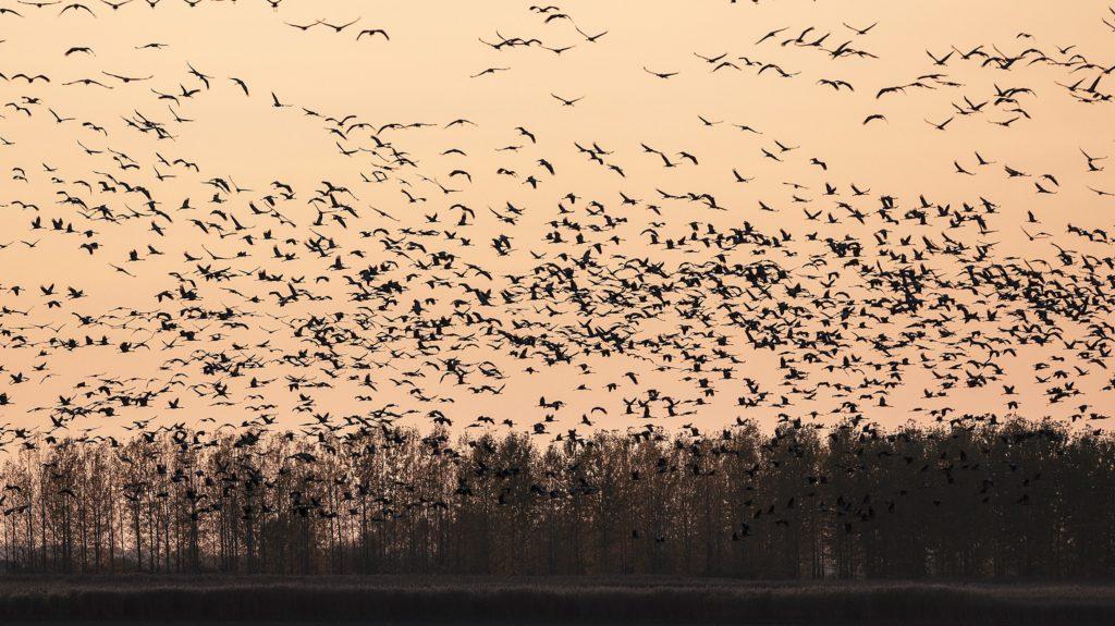 Hortobágy, 2013. október 21. Szürke darvak (Grus grus) repülnek naplemente után éjszakázó helyükre a Hortobágyon, az Elepi tóegység közelében 2013. október 20-án. (MTI Fotó: Czeglédi Zsolt)