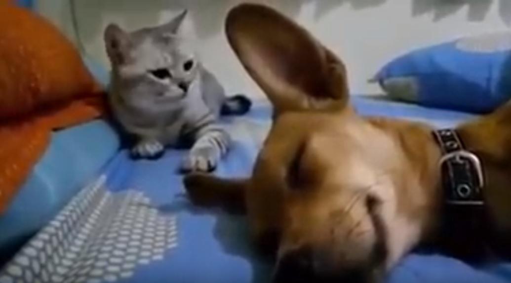 Odafingott a macska orra alá a kutya, a reakciójától szakad a net – videó