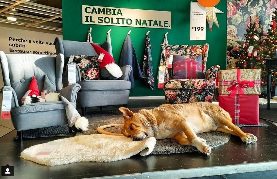 Kóborkutya az IKEA-ban (fotó: Instagram)