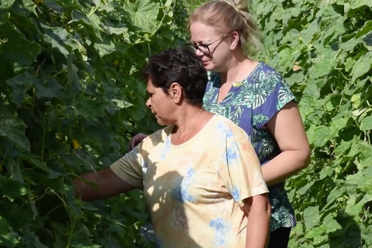 Félmilliós plusz jövedelmet biztosít a helyieknek Szalatnak különc polgármestere uborkatermesztéssel